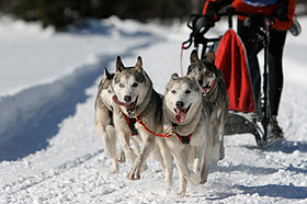 photo sled dogs